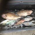 まびさんの愛媛県での釣果写真