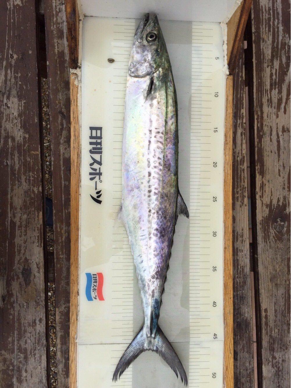 しーんさんの投稿画像,写っている魚はサワラ