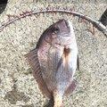 Sho Nishidaさんの愛媛県での釣果写真