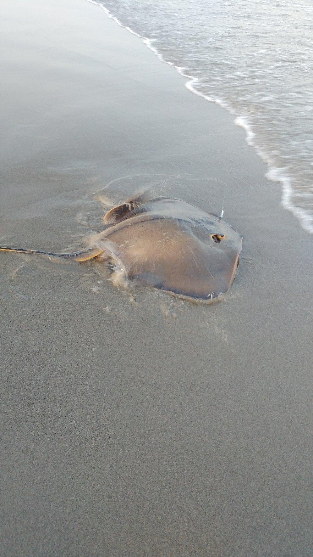 はたけさんの投稿画像,写っている魚はアカエイ