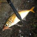 白帯アングラーさんの神奈川県での釣果写真