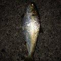 Masamasaさんの神奈川県での釣果写真