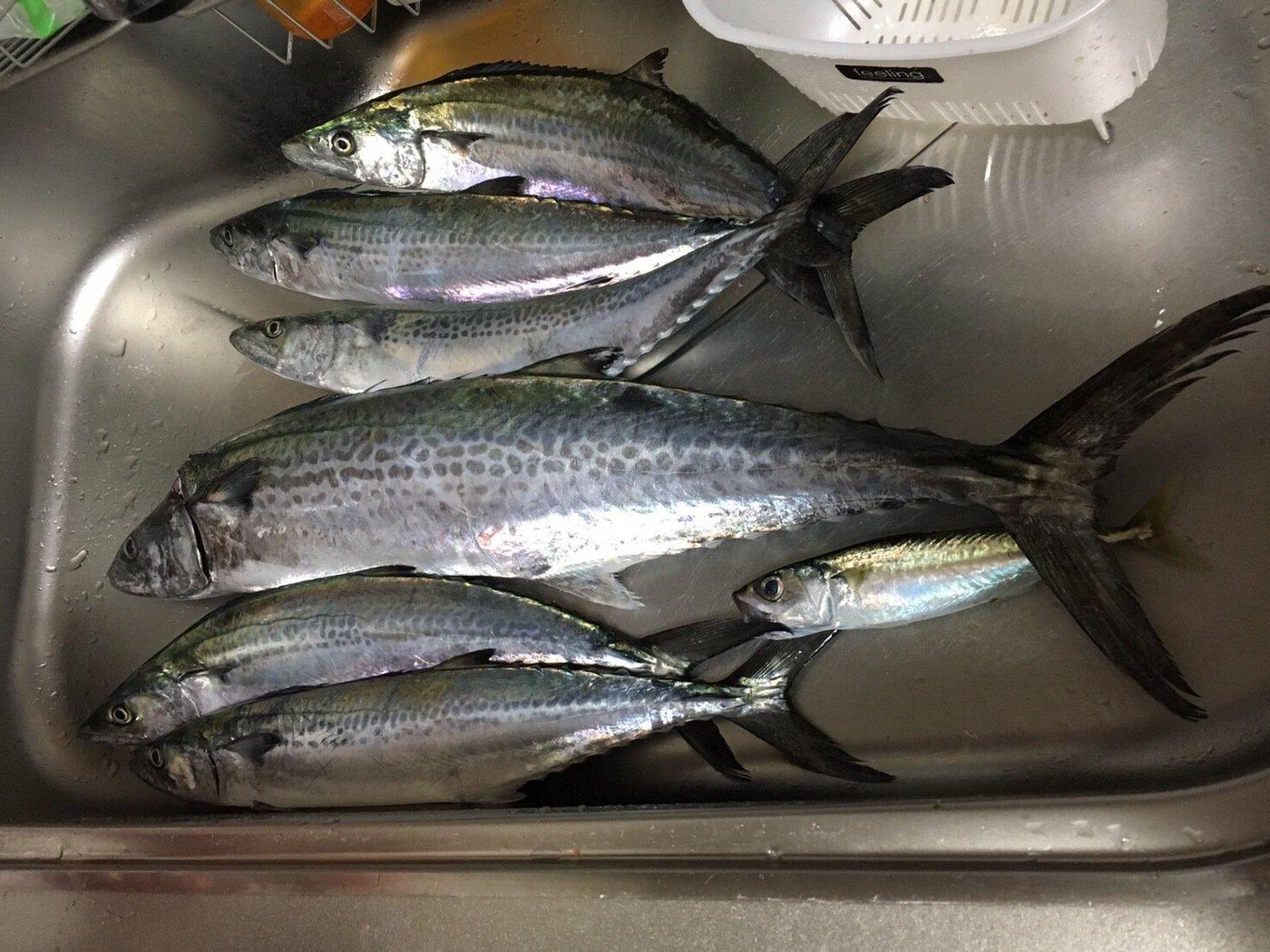 京都さんの投稿画像,写っている魚はサワラ