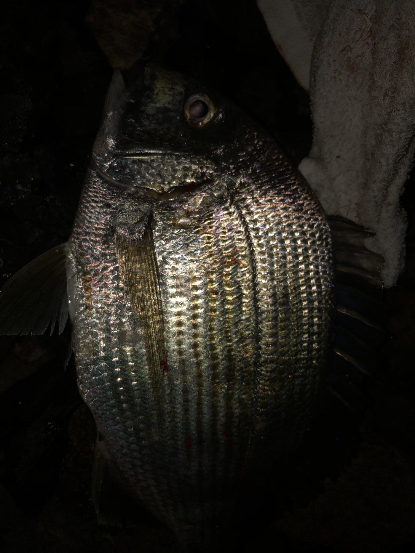 ヨッシーK2さんの投稿画像,写っている魚はヘダイ
