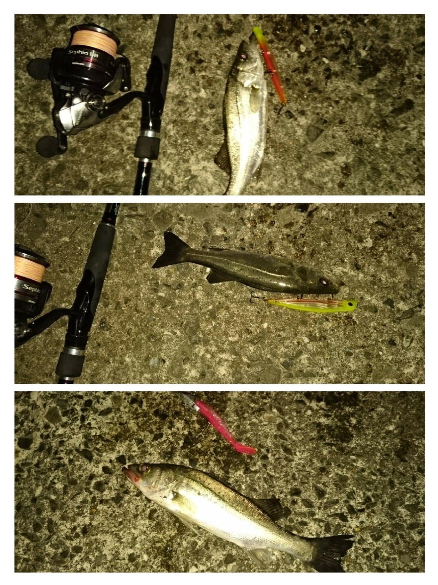 アスパラさんの投稿画像,写っている魚はスズキ