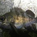 オカラバー12さんの広島県での釣果写真