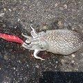ムラサンさんの広島県での釣果写真