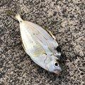 アーサーさんの広島県での釣果写真