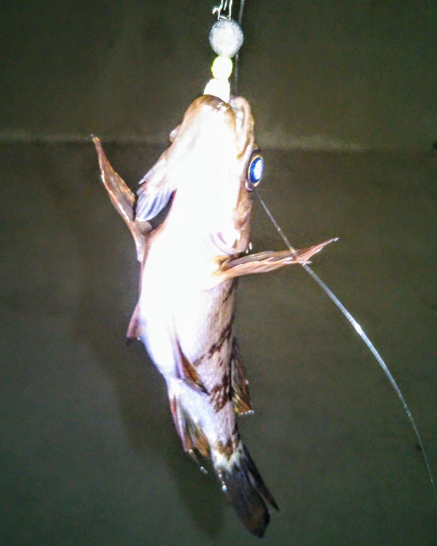 カービィさんの投稿画像,写っている魚は