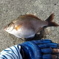 靖さんのウミタナゴの釣果写真