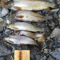 有頂天一号さんの長野県塩尻市での釣果写真