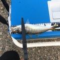 リッキーさんの兵庫県美方郡での釣果写真