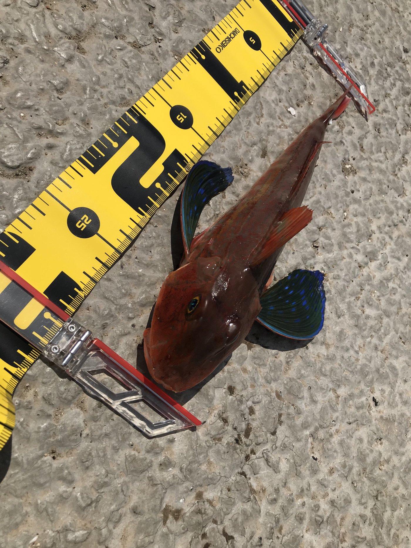 ta-chiさんの投稿画像,写っている魚はソコホウボウ
