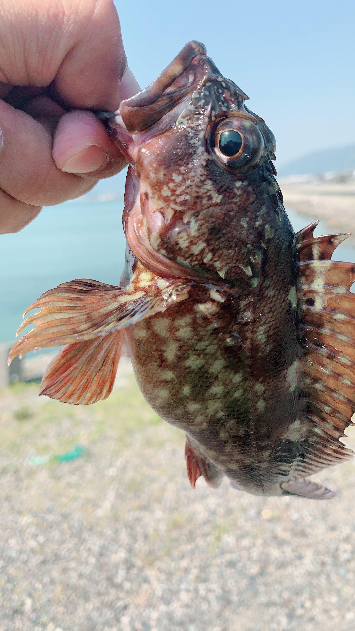 Ryo tさんの投稿画像,写っている魚はカサゴ