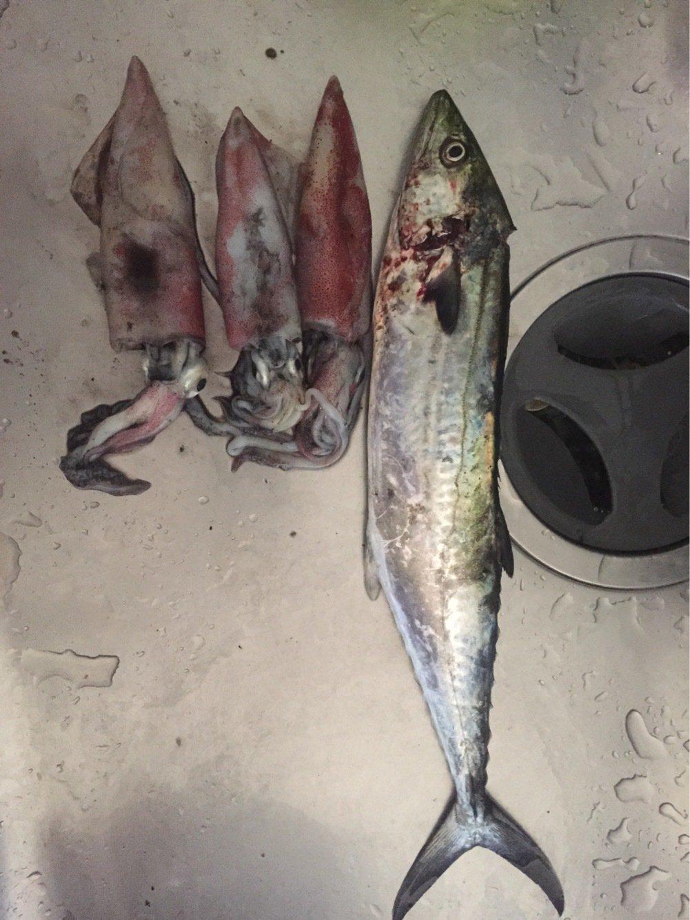 妖怪スッテユズリさんの投稿画像,写っている魚はサワラ