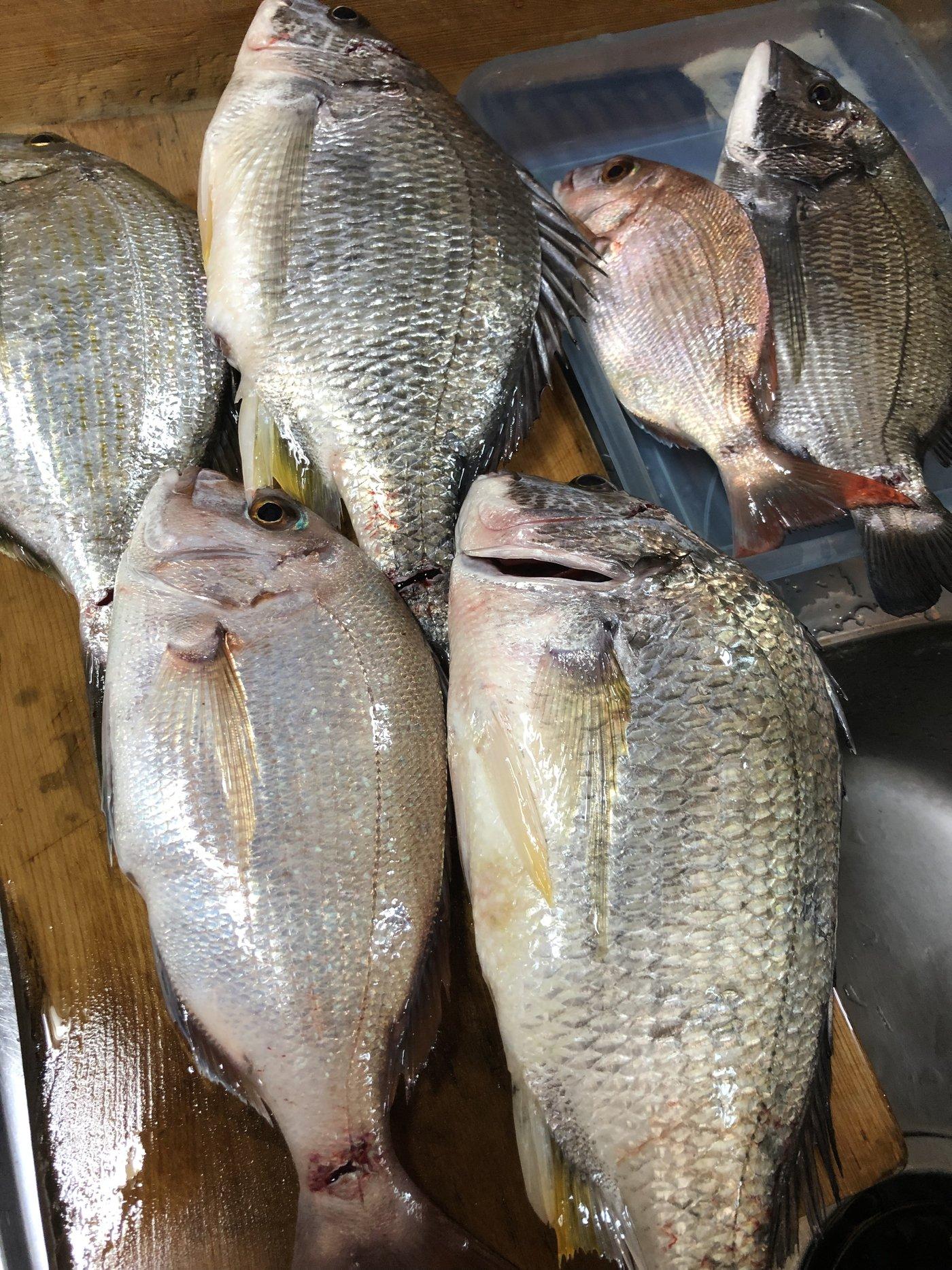 ヨッシーK2さんの投稿画像,写っている魚はキチヌ,マダイ,クロダイ,ヘダイ