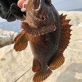 ビギナー釣り師さんのムラソイの釣果写真