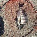 まあサムライさんの福岡県北九州市での釣果写真
