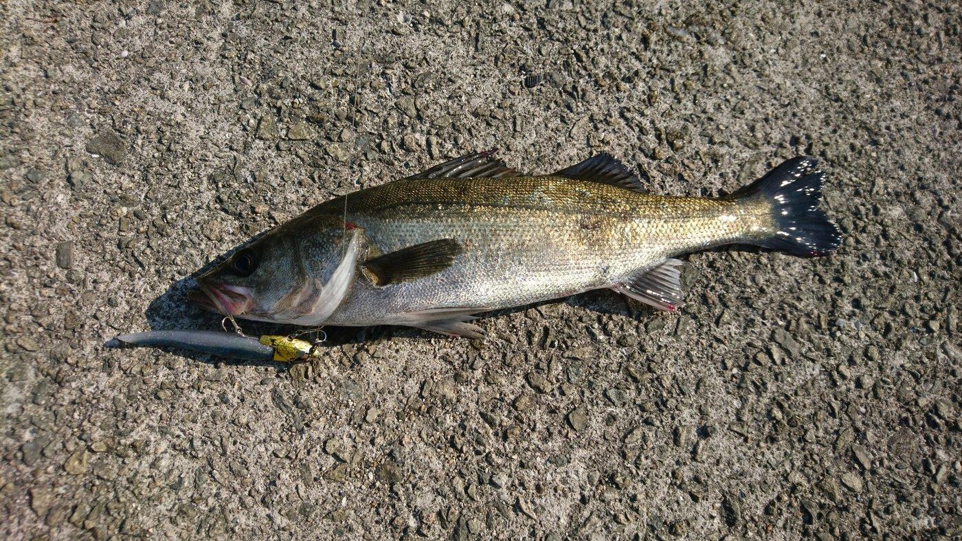 コッシャンさんの投稿画像,写っている魚はスズキ