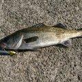 コッシャンさんの兵庫県西宮市での釣果写真
