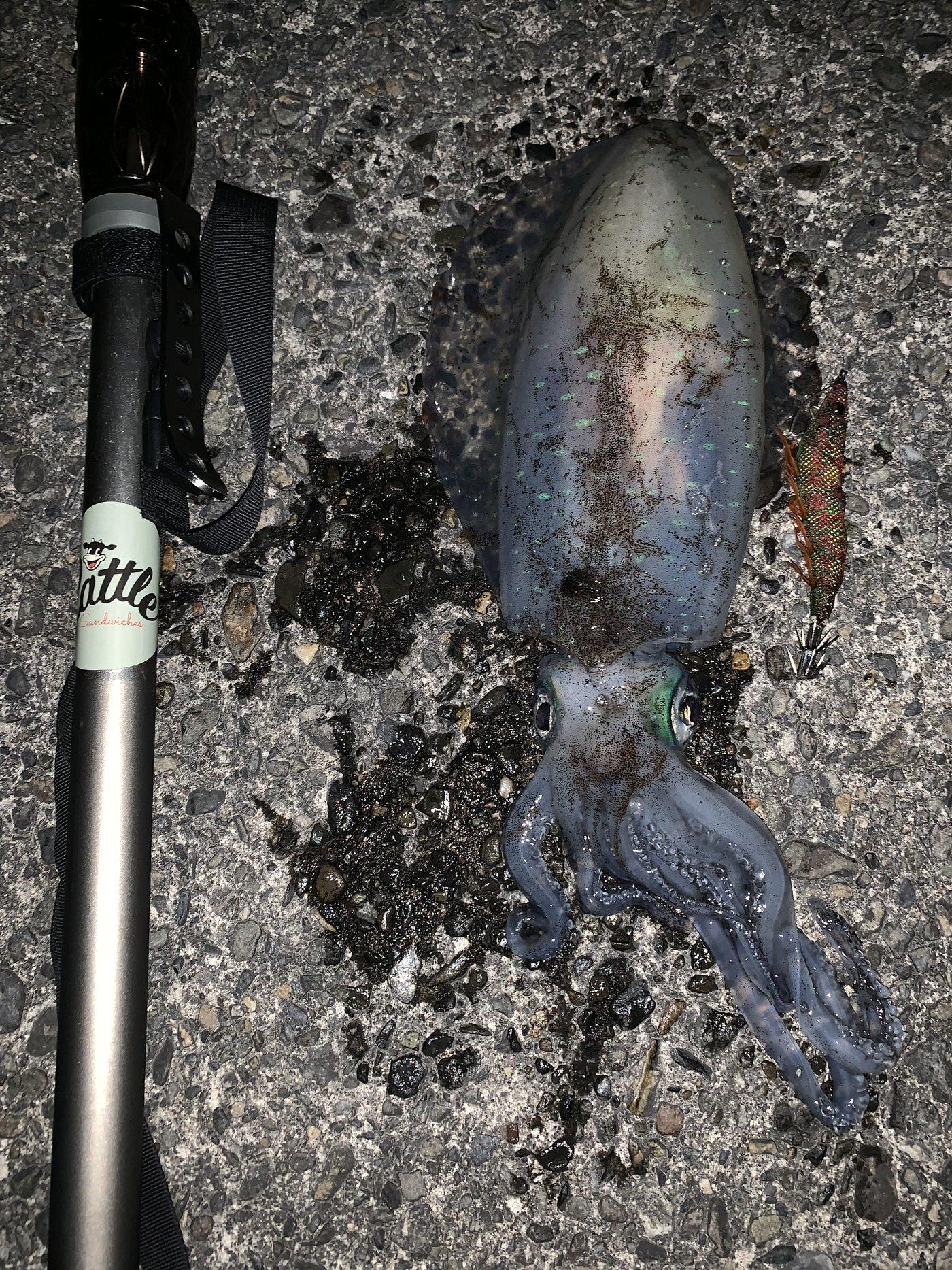 WeedManさんの投稿画像,写っている魚はアオリイカ