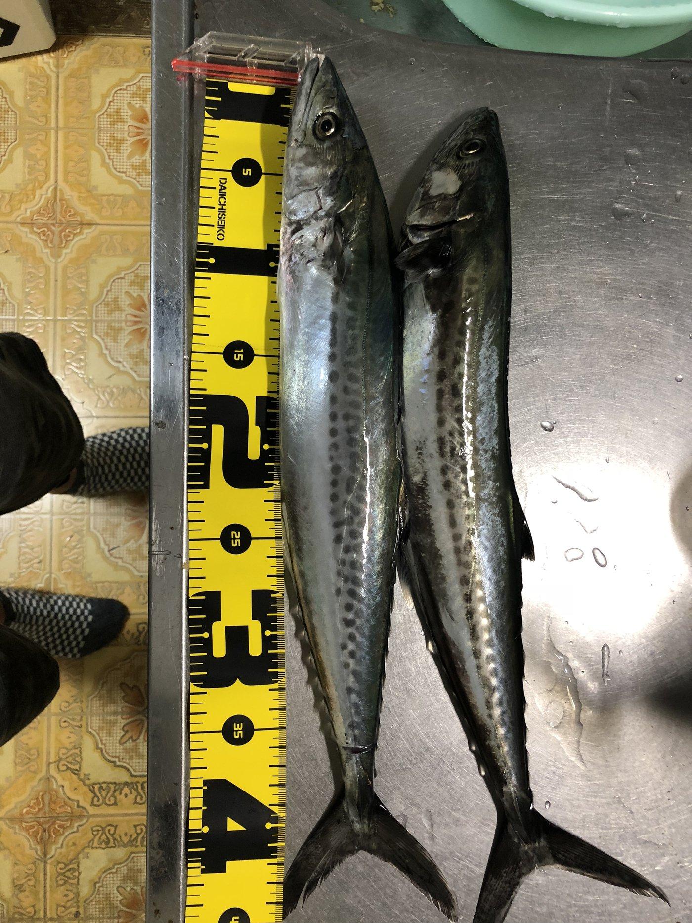 サイレントルアーマンさんの投稿画像,写っている魚はサワラ
