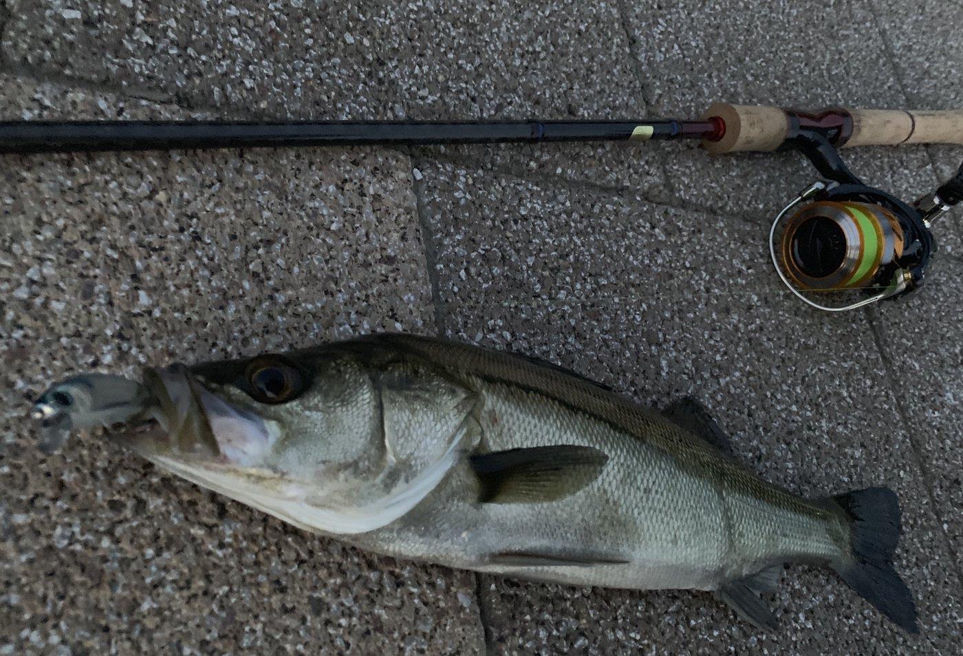 Y.suzukiさんの投稿画像,写っている魚はスズキ