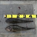 まさぴさんの宮城県での釣果写真