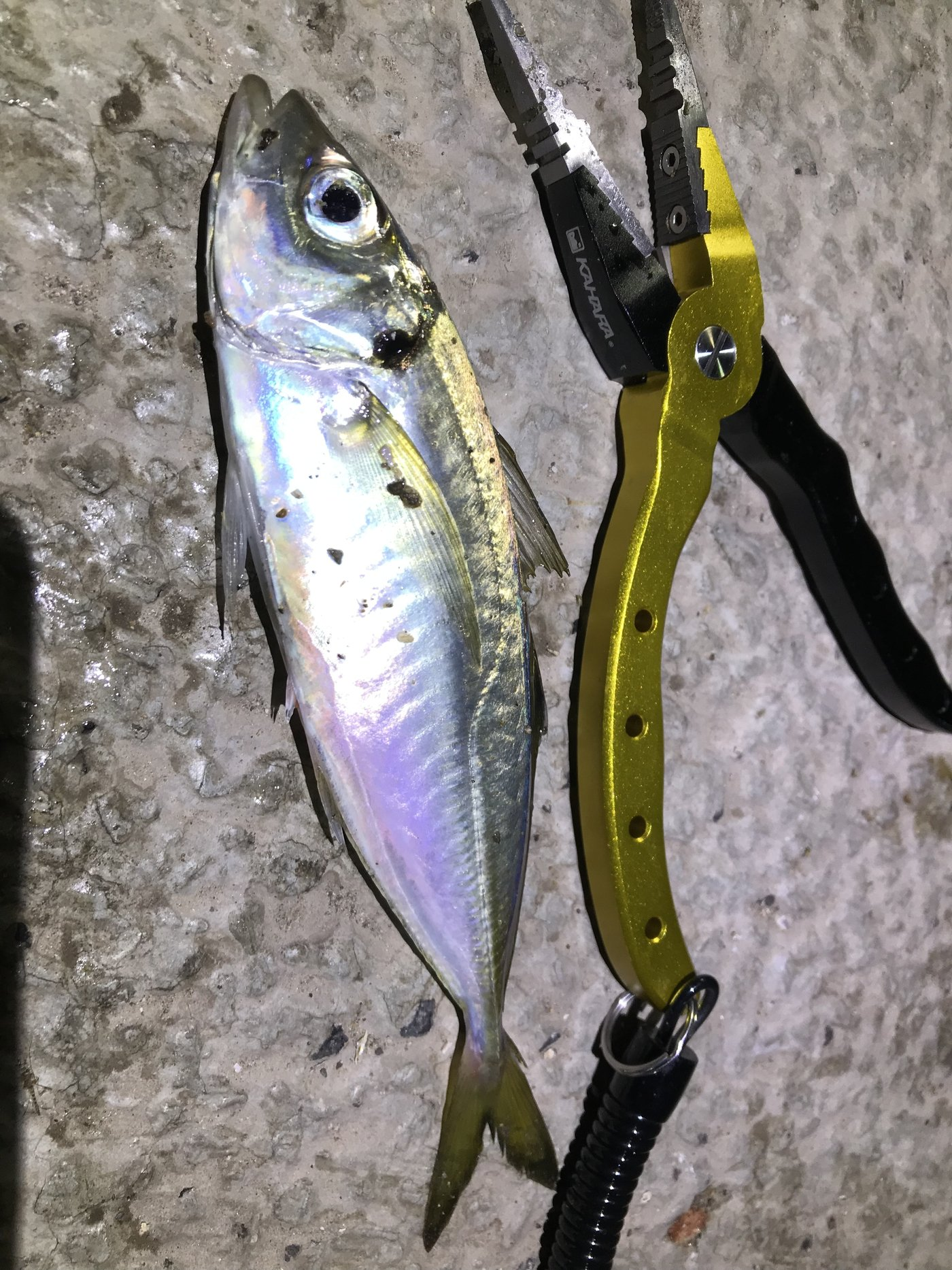 ta-chiさんの投稿画像,写っている魚はアジ