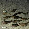 ヨッシーさんの広島県尾道市での釣果写真