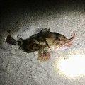 和平さんの静岡県湖西市でのカサゴの釣果写真