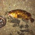 釣り好きドラマーさんの神奈川県川崎市でのカサゴの釣果写真