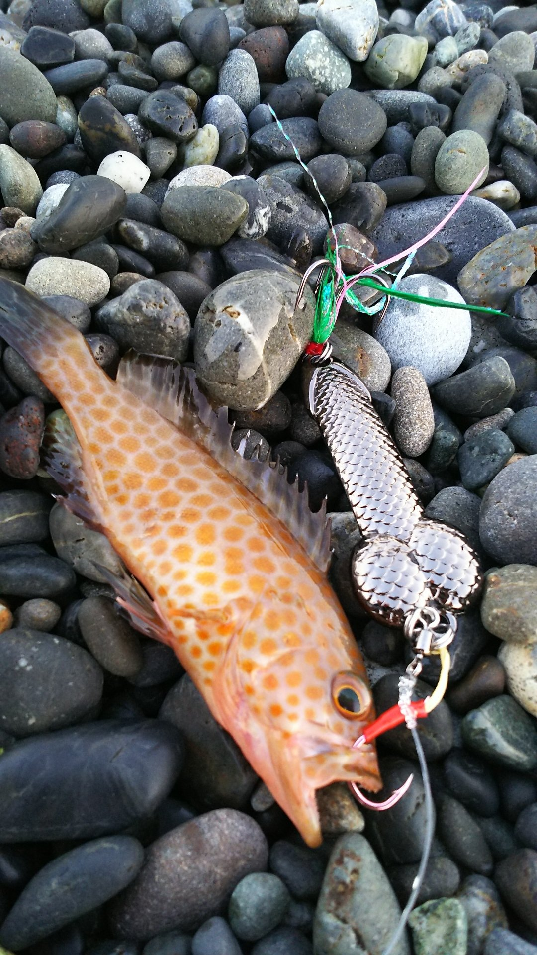 もちぷよさんの投稿画像,写っている魚はオオモンハタ
