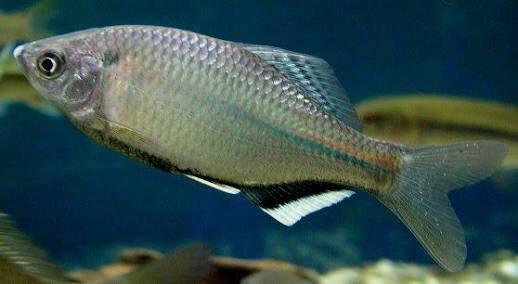 かめさんの投稿画像,写っている魚はタナゴ