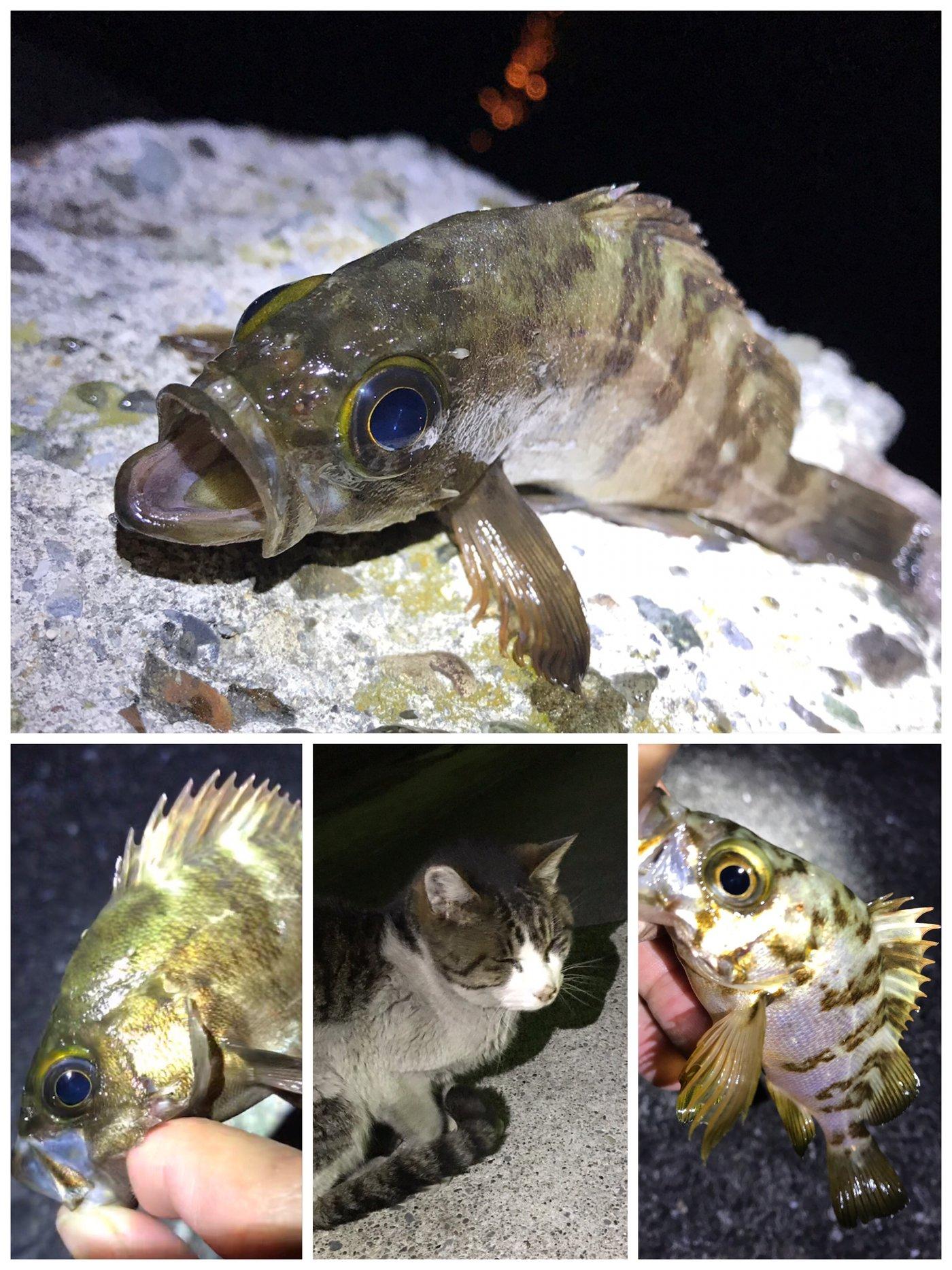 SOL Pianomaniaさんの投稿画像,写っている魚はメバル