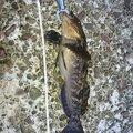 のばさんの北海道苫小牧市での釣果写真