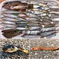 Genさんのアナゴの釣果写真