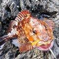 BONさんの静岡県伊東市でのカサゴの釣果写真