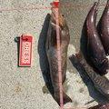 タカさんの宮城県でのアイナメの釣果写真