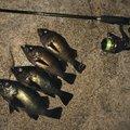 ギンポ野郎さんのシロメバルの釣果写真