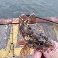 hirop🔧onさんの静岡県静岡市でのカサゴの釣果写真