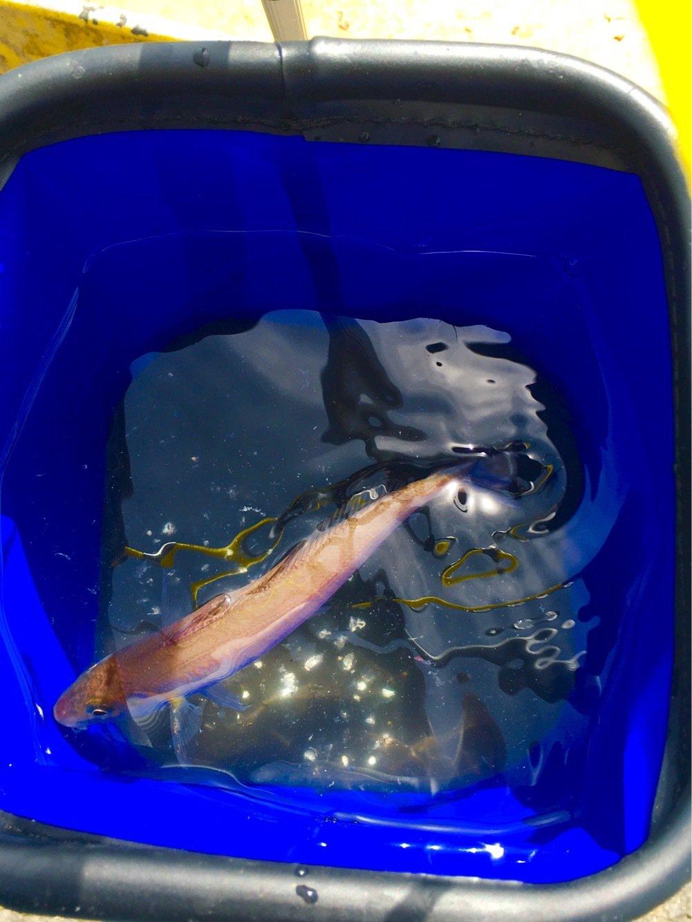 Hiroyukiさんの投稿画像,写っている魚はシロギス