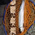 ボブさんの宮城県刈田郡での釣果写真