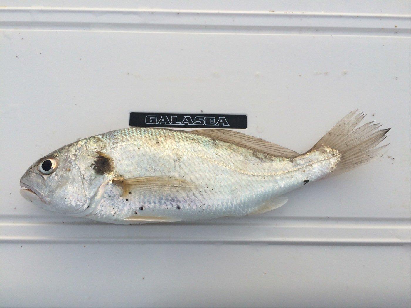 シーバスハンターさんの投稿画像,写っている魚はイシモチ
