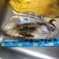 トッシーさんの長崎県西彼杵郡での釣果写真