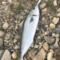 釣遊会さんの徳島県板野郡での釣果写真