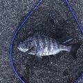 🦑エギング大好きマン🦑さんの石川県珠洲市での釣果写真