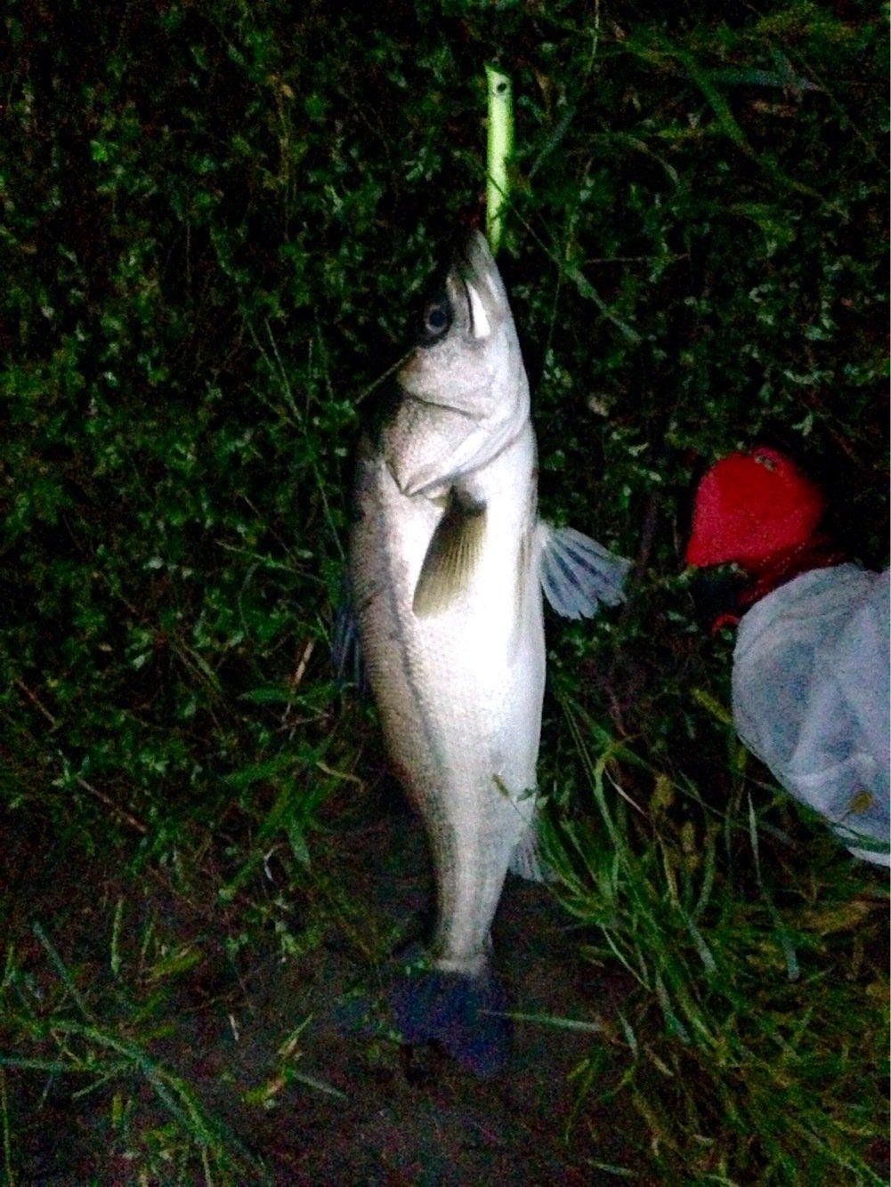 マットさんの投稿画像,写っている魚はスズキ