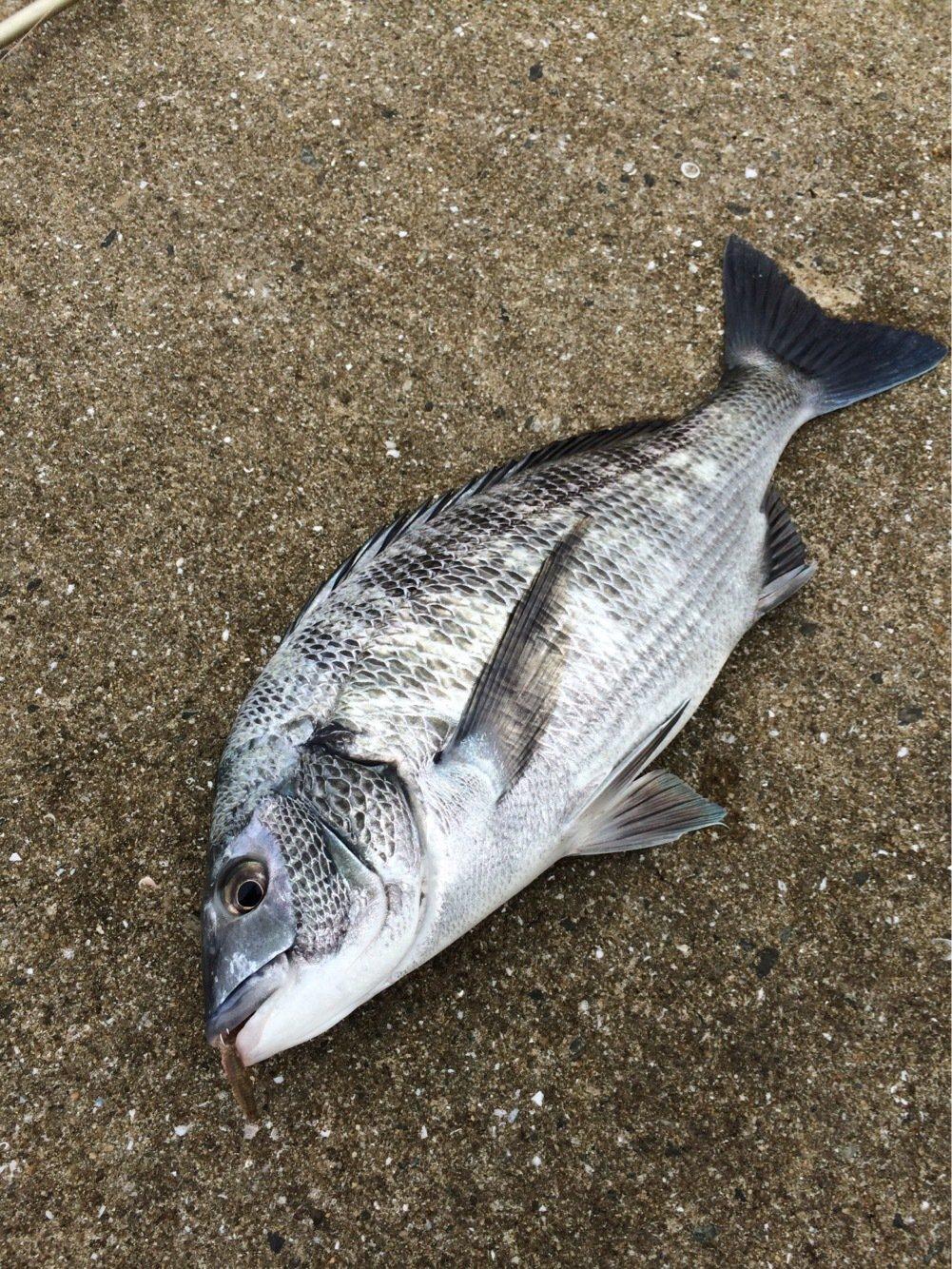 toorumanさんの投稿画像,写っている魚はクロダイ