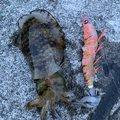 WeedManさんの静岡県伊東市でのアオリイカの釣果写真